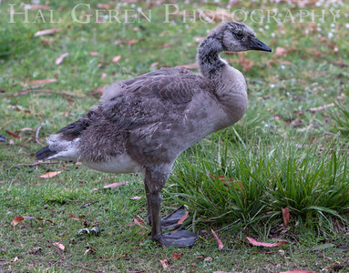Canadian Goose gosling molting into its adult plumage Lakeshore Park, Newark, California 1106N-G10