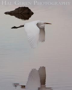 Great Egret in Flight Lakeshore Park, Newark, California 1106N-GEF1