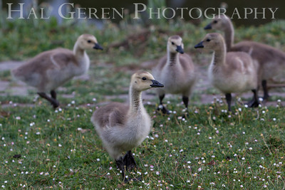 Goslings Lakeshore Park, Newark, California 1106N-G5