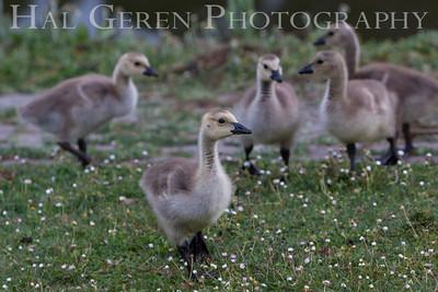 Goslings Lakeshore Park, Newark, California 1106N-G5