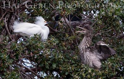 Black Crowned Night Heron and Snowy Egret Lakeshore Park, Newark, California 1106N-BCNHASE1