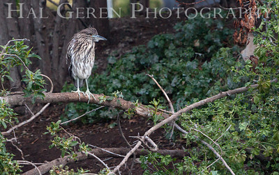 Black Crowned Night Heron Juvenile Lakeshore Park, Newark, California 1106N-BCNHJ1
