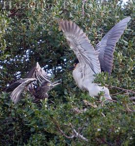 Black Crowned Night Heron with its Juvenile Lakeshore Park, Newark, California 1106N-BCNHWJ1