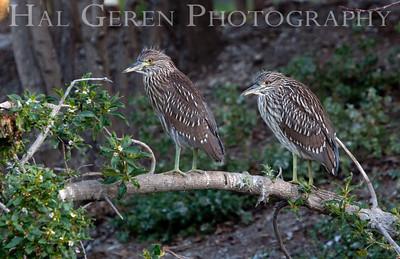 Black Crowned Night Heron Juveniles Lakeshore Park, Newark, California 1106N-BCNHJ2