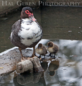 Muscovy Duck and Duckings  Lakeshore Park, Newark, California 1106N-MDAD1
