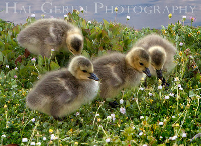 Goslings Lakeshore Park, Newark, California 1106N-G1