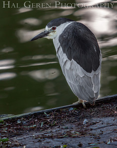 Black Crowned Night Heron Lakeshore Park, Newark, California 1106N-BCNH3