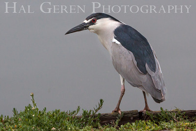 Black Crowned Night Heron Lakeshore Park, Newark, California 1106N-BCNH4
