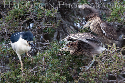 Black Crowned Night Heron Juveniles Begging for Food Lakeshore Park, Newark, California 1206N-BCNHJAP4
