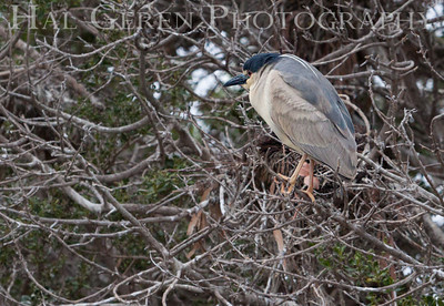 Black Crowned Night Heron Juvenile with Adult Coat Just Coming In Lakeshore Park, Newark, California 1206N-BCNHJNC1