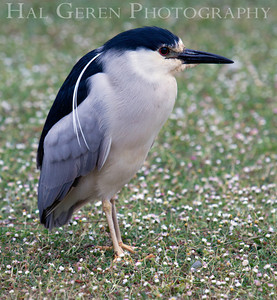 Black Crowned Night Heron Lakeshore Park, Newark, California 1206N-BCNH2