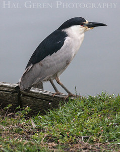 Black Crowned Night Heron Lakeshore Park, Newark, California 1206N-BCNH3