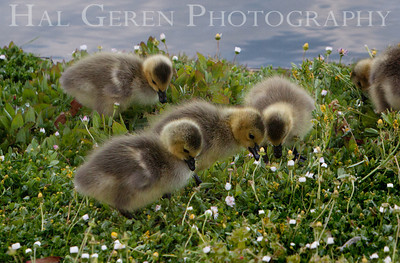 Canadian Goose Goslings  Lakeshore Park, Newark, California 1106N-G1