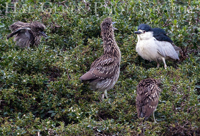 Black Crowned Night Heron Juveniles Begging for Food Lakeshore Park, Newark, California 1206N-BCNHJAP1
