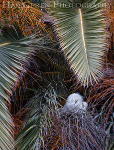 Snowy Egret on Nest Lakeshore Park, Newark, California 1206N-SEON1