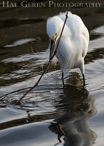 Snowy Egret with Nesting Materials Lakeshore Park, Newark, Ca 1503LN-SNWNM3
