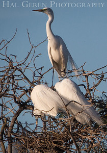 Great Egrets Lakeshore Park, Newark, Ca 1503LN-GEG1