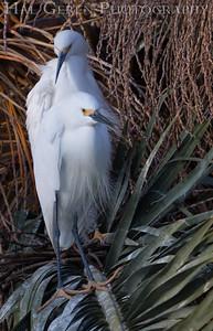 Snowy Egrets Lakeshore Park, Newark, Ca 1503LN-S1