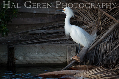 Snowy Egret Lakeshore Park, Newark, Ca 1503LN-S1a