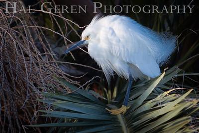 Snowy Egret Lakeshore Park, Newark, Ca 1503LN-SE2