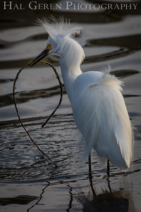 Snowy Egret with Nesting Materials Lakeshore Park, Newark, Ca 1503LN-SNWNM2