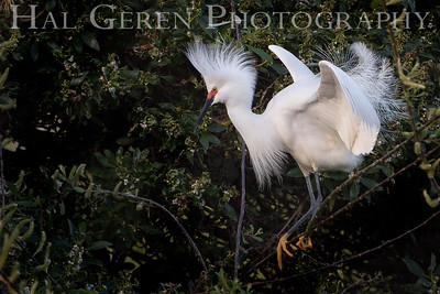 Snowy Egret Mating Display Lakeshore Park, Newark, Ca 1503LN-SED1