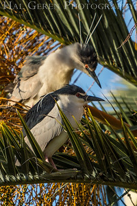Black Crowned Night Heron with Fledgling Lakeshore Park, Newark, Ca 1503LN-BCNHWF1