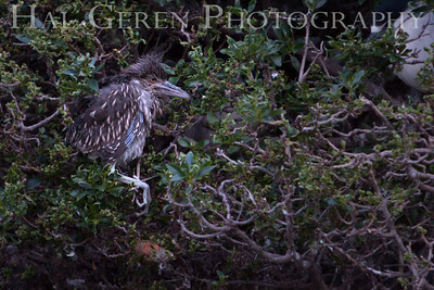Black Crowned Night Heron Fledgling Lakeshore Park, Newark, California 1204N-BCNHL1