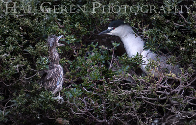 Black Crowned Night Heron and Fledgling Lakeshore Park, Newark, California 1204N-BCNHAF1