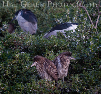 Black Crowned Night Heron Family Lakeshore Park, Newark, California 1204N-BCNHF2