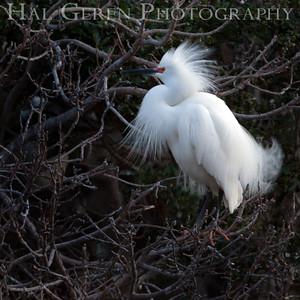 Snowy Egret Lakeshore Park, Newark, California 1204N-SE2