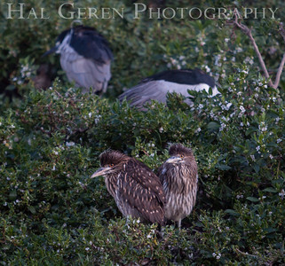 Black Crowned Night Heron Family Lakeshore Park, Newark, California 1204N-BCNHF1