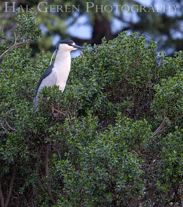 Black Crowned Night Heron  Lakeshore Park, Newark, California 1204N-BCNH2