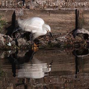 Snowy Egret Lakeshore Park, Newark, California 1204N-SE8