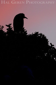 Black Crowned Night Heron Silhouette Lakeshore Park, Newark, California 1204N-BCNHS4