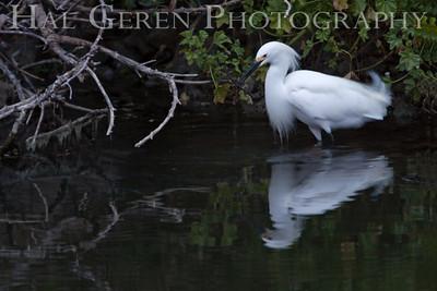 Snowy Egret Lakeshore Park, Newark, California 1204N-SE6