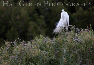 Great Egret Lakeshore Park, Newark, California 1204N-GE3