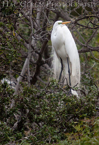 Great Egret Lakeshore Park, Newark, California 1204N-GE1