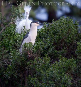 Snowy Egret and Night Heron (photo bomb) Lakeshore Park, Newark, California 1204N-SEANH1