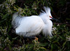 Male Snowy Egret displays for a female.<br /> Lakeshore Park, Newark, California<br /> 1004LN-SE3