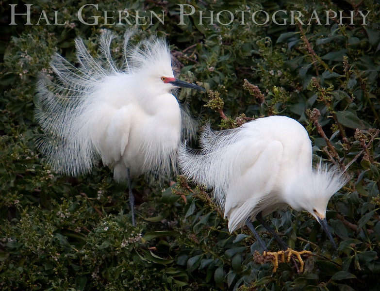 Male Snowy Egrets display for a female.  The one on the right is younger.<br /> Lakeshore Park, Newark, California<br /> 1004LN-SEP1