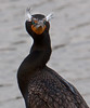 An elderly male Double Breasted Cormorant with his 'eyebrow' courting displays.<br /> Lakeshore Park, Newark, California<br /> 1004LN-C1