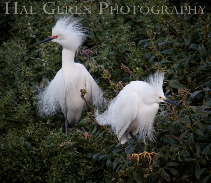 Male Snowy Egrets display for a female.  The one on the right is younger.<br /> Lakeshore Park, Newark, California<br /> 1004LN-SEP3