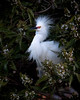 Snowy Egret<br /> Lakeshore Park, Newark, California<br /> 1004LN-SE12