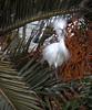 Male Snowy Egret<br /> Lakeshore Park, Newark, California<br /> 1004LN-SE14