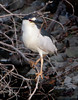 A male Black Crowned Night Heron collecting materials for a nest<br /> Lakeshore Park, Newark, California<br /> 1004LN-BCNH2