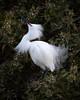 Snowy Egret<br /> Lakeshore Park, Newark, California<br /> 1004LN-SE8