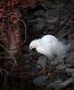 Snowy Egret<br /> Lakeshore Park, Newark, California<br /> 1004LN-SE10
