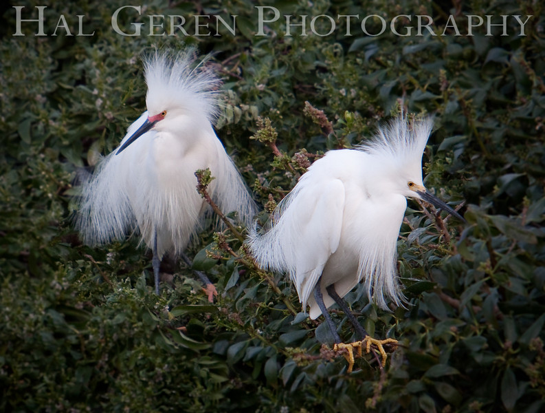 Male Snowy Egrets display for a female.  The one on the right is younger.<br /> Lakeshore Park, Newark, California<br /> 1004LN-SEP4