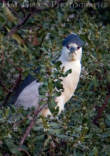 You look funny to me, too.<br /> Black Crowned Night Heron<br /> Lakeshore Park, Newark, California<br /> 1004LN-BCNH1